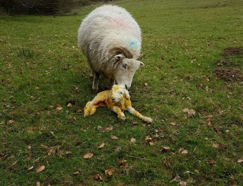 First Exmoor Horn Lamb at Yealscombe