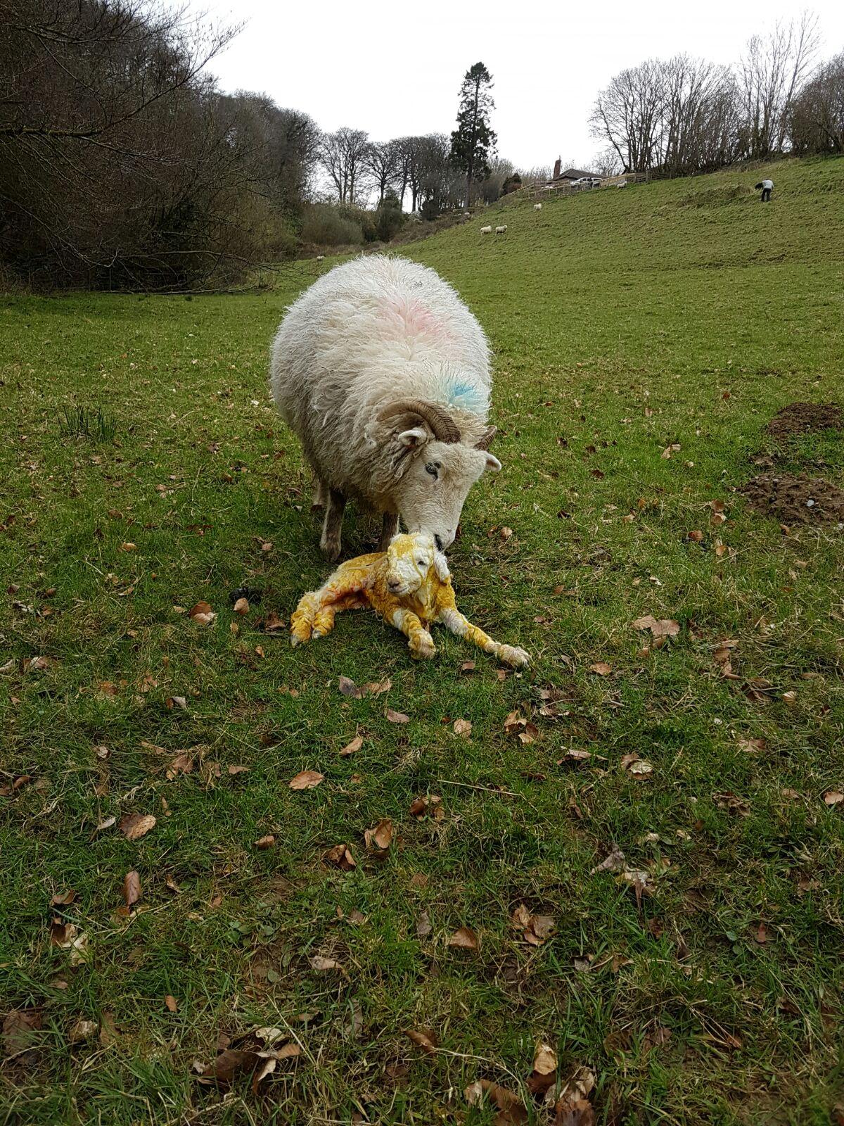 Exmoor Horn Lamb